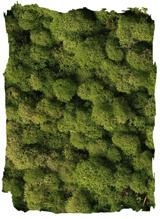 Rendiermos middel groen klein