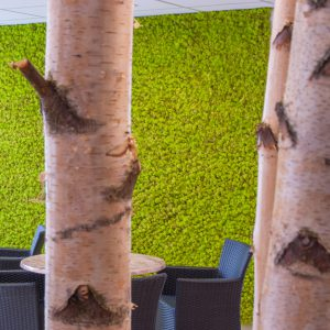 moswand springgreen berkenboom