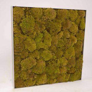 Mosschilderij 60×60 cm. bolmos 'SpringGreen' in aluminium lijst